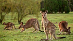 canguros en australia